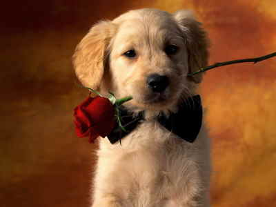 Bouquet 12 Rosas Tallo Corto, Ramo de Rosas Rojas para San Valentín, Rosas Rojas para Sant Jordi, Rosas Rojas, Envíos Florales Urgentes a Murcia