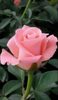 Ramo Funerario 7 Rosas Rosadas, Rosas para el Tanatorio, Ramo de Flores para dar Condolencias, Ramos Funerarios para Murcia, Flores para Difuntos
