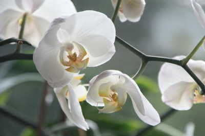 Planta Orquídea Blanca, Plantas de Decoración, Plantas para Regalar, Envíos Florales Urgentes, Floristería Online, Comprar Flores Online