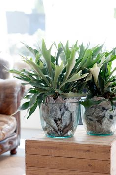Planta Guzmania, Regalar Plantas en un Cumpleaños, Regalar Plantas en un Nacimiento, Regalar Plantas para el Día de la Madre, Floristería Online